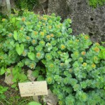 Rhodiola_rosea_-_Berlin_Botanical_Garden_-_IMG_8501