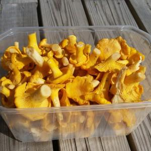 chanterelle-mushrooms-999347_960_720
