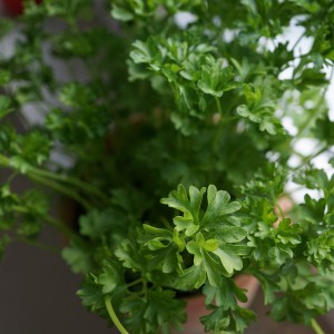 parsley-790703_960_720