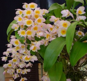 почему не цветет орхидея фаленопсис
