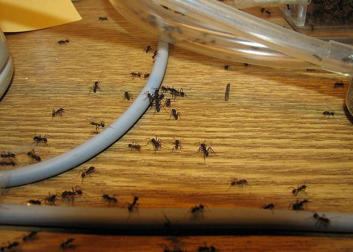 избавится от муравьёв дома