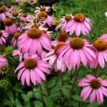 echinacea-73365_960_720