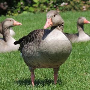 goose-168560_960_720