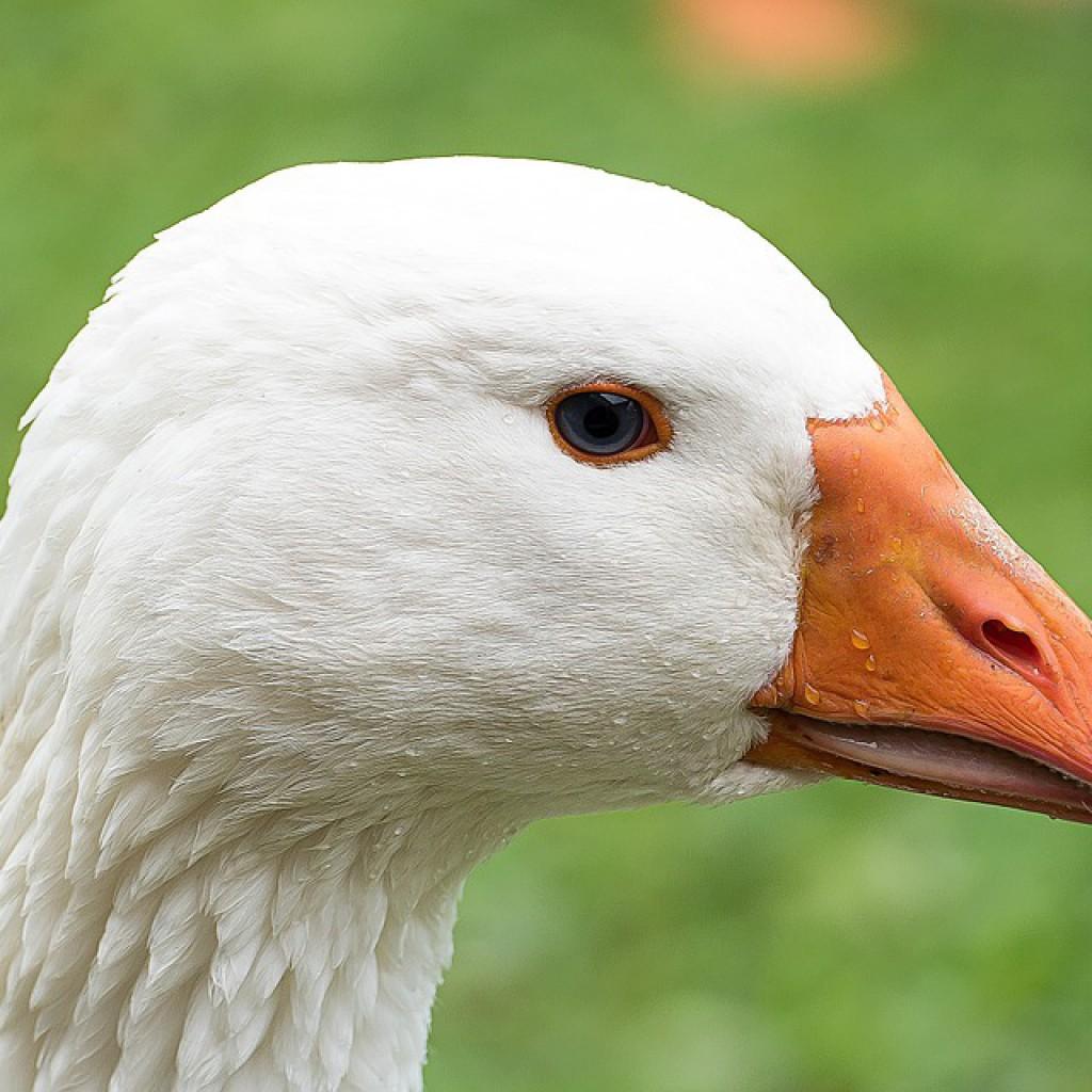 goose-525420_960_720